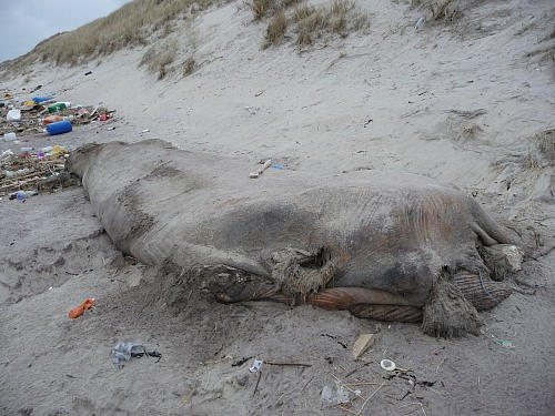 Beach near Vedersø Klit (DENMARK): There was a beached whale together with the marine litter found on the beach. The picture was taken near Vedersø Klit on the west coast of Denmark. The whale was removed and destrøyed after a bone was collected for scientific study.